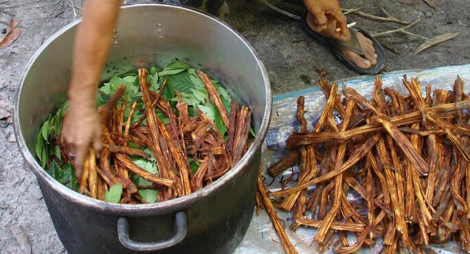Risultati immagini per ayahuasca plant