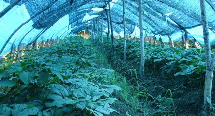 Panax Ginseng Root Rejuvenate And Invigorate Medicine