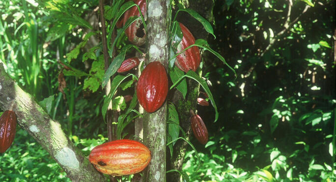 Theobroma cacao the chocolate tree medicine hunter sciox Image collections