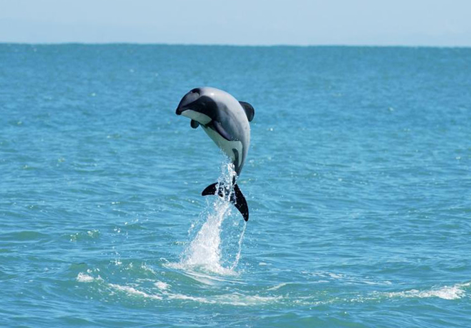 LAST CHANCE TO SAVE THE WORLD'S LITTLEST DOLPHIN   Medicine
