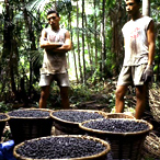 Acai Harvest, Brazil