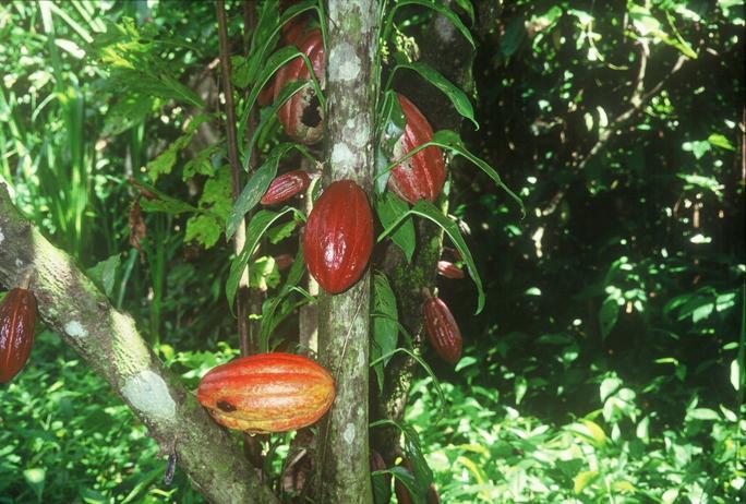 medicine_hunter_-_ripe_cacao_fruit_on_tree_684 - Butikaw, butikaw, kakaw! - Photos Unlimited