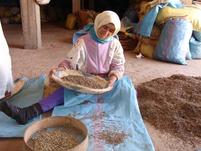 sifting herbs in morocco medicine hunter