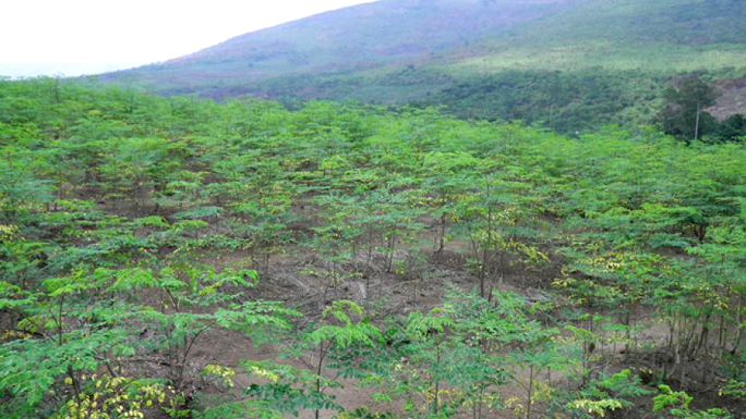 The Healing Powers of Moringa   Medicine Hunter
