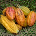 Ripe Cocoa Pods in Basket