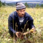 Rhodiola in Siberia